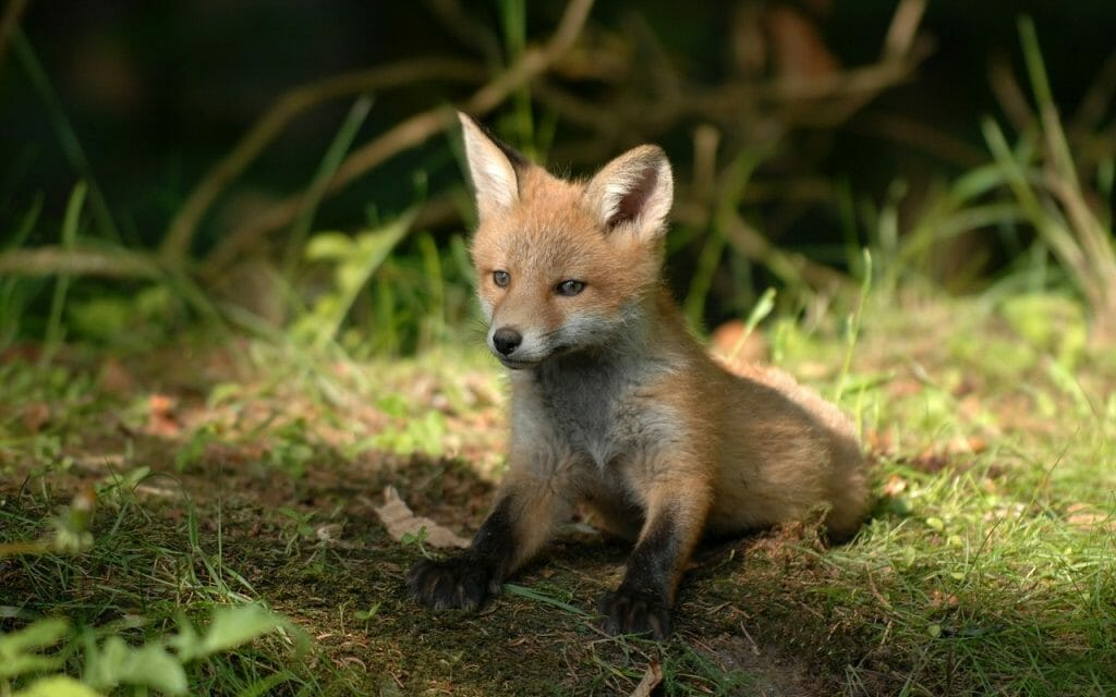 Huntsman Guilty of Feeding Live Fox Cubs to Hounds Receives Suspended Sentence