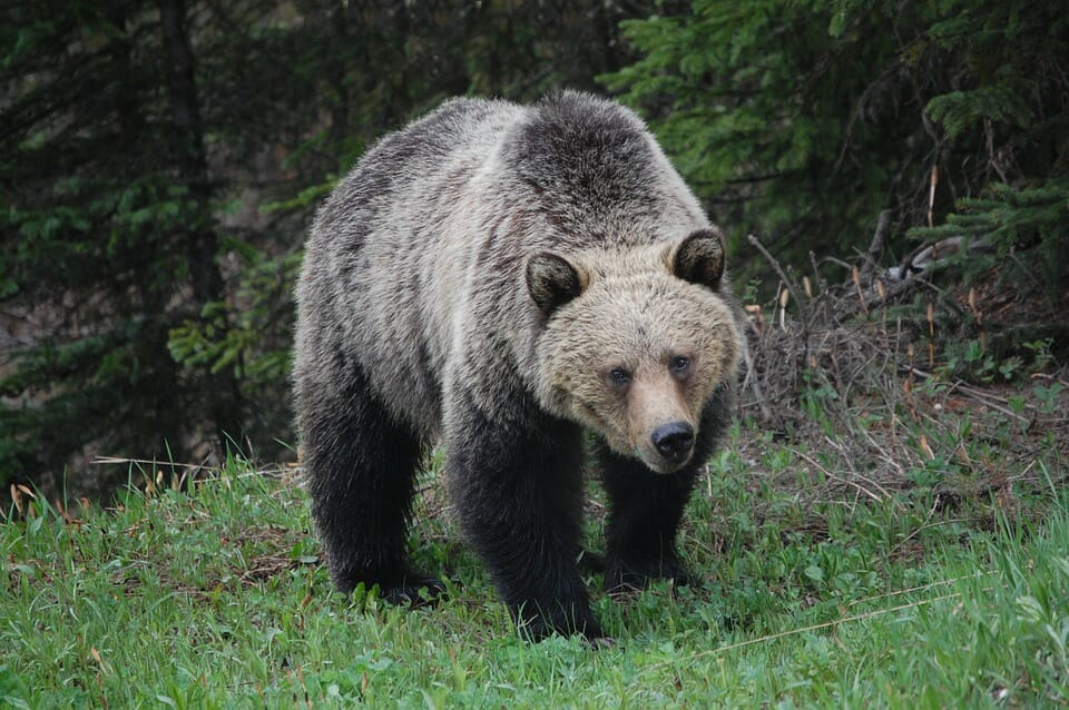 The US Government Is Trying to Overturn Protections that Save Grizzly Bears from Trophy Hunters