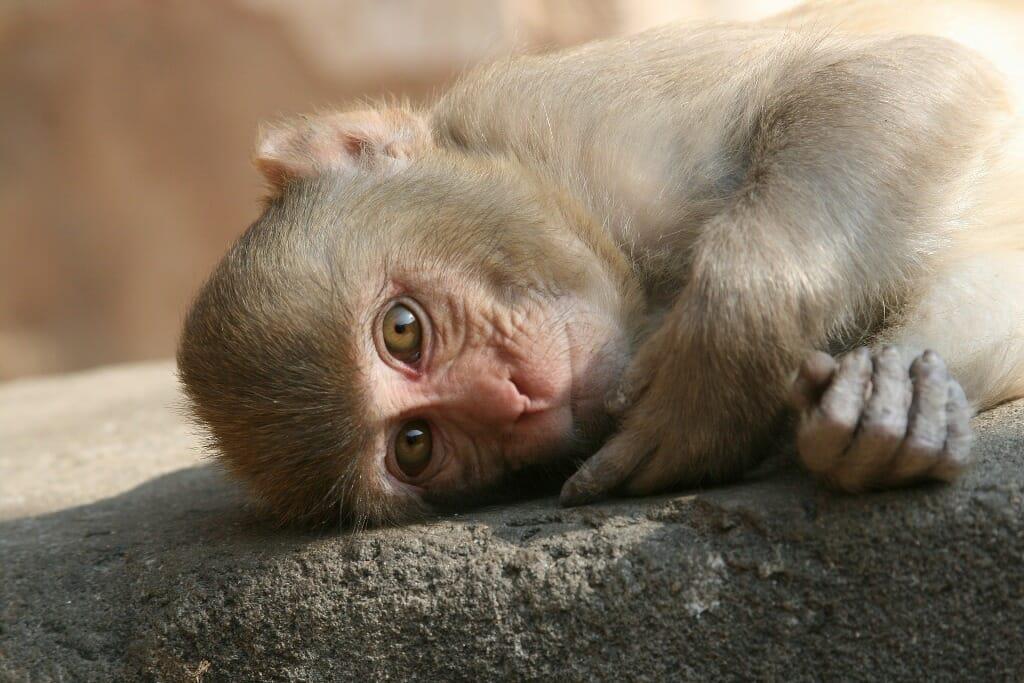 Sweet monkey lying down