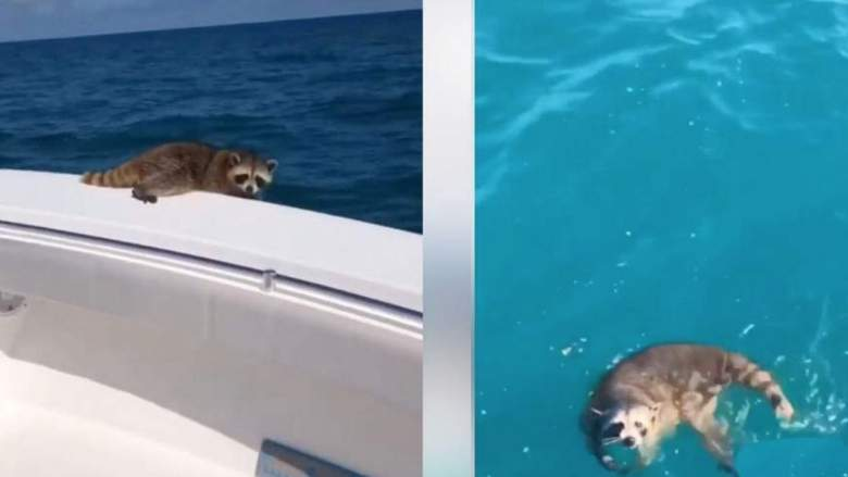SIGN: Justice for Raccoon Forced Off Boat to Drown 20 Miles Out at Sea