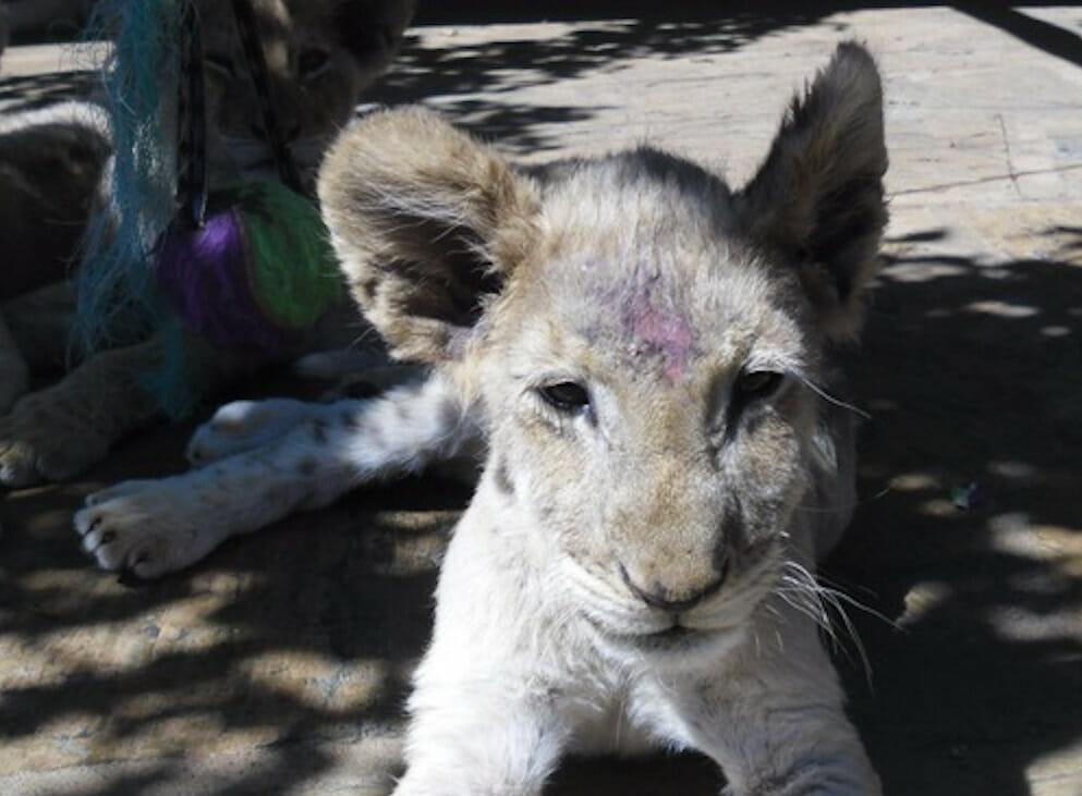captive lion cub