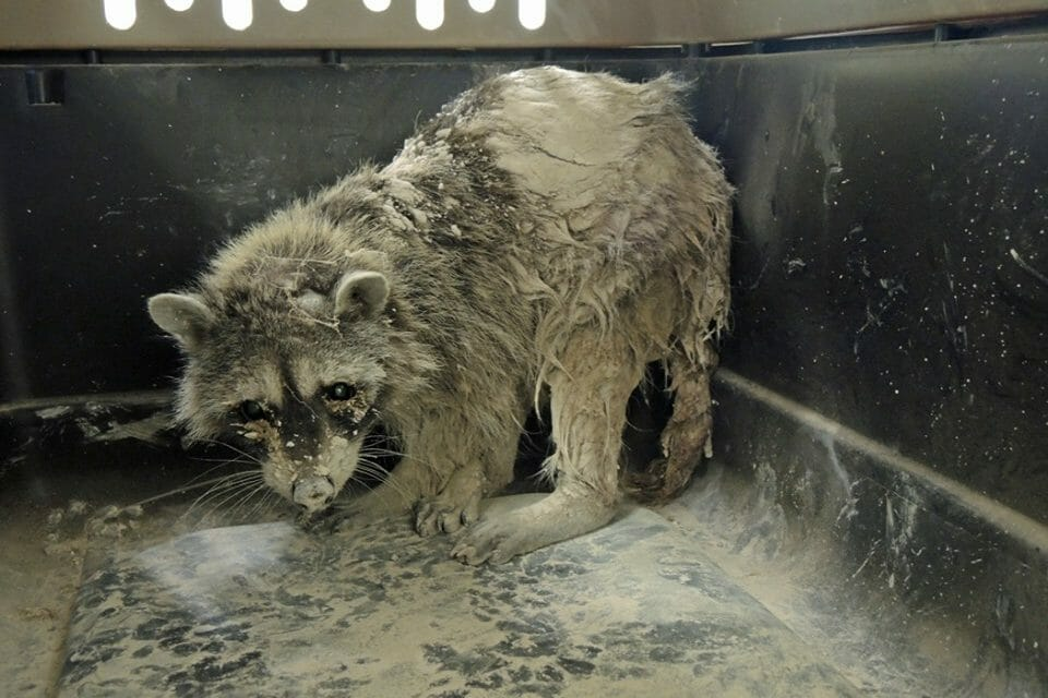 Hero Construction Crew Saves Raccoon 'Turning to Stone' in Cement Pit