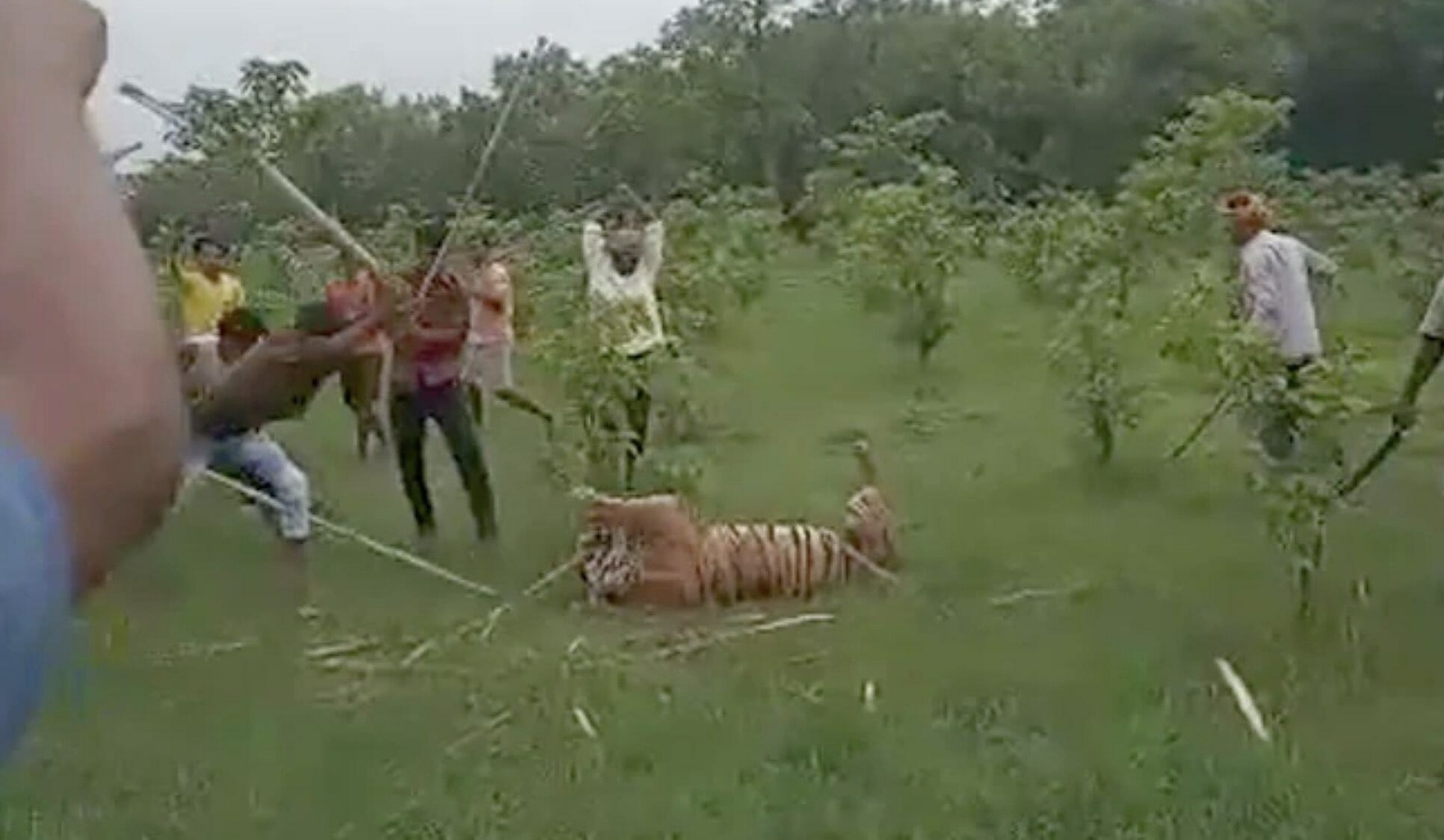 tiger beaten