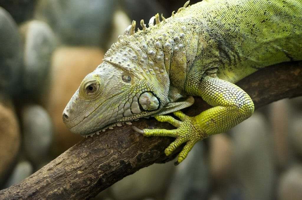 Representative image of green iguanas targeted in Florida