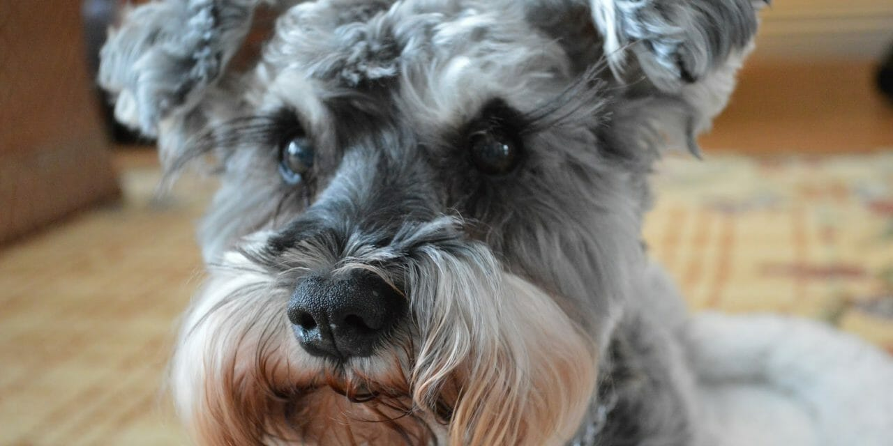 SIGN: Justice for Miniature Schnauzer Cruelly Burned Alive