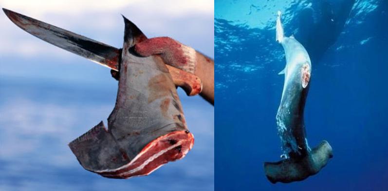Despite Statewide Bans, Hundreds of US Restaurants Still Serve Shark Fin Soup