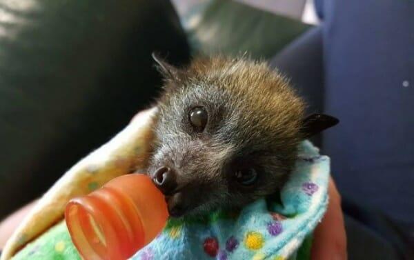 Baby bat in blanket