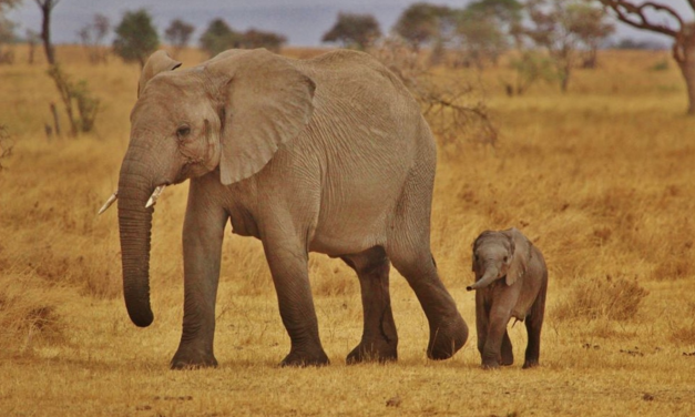 CITES Votes to End Kidnapping of Wild Baby Elephants for Export to Zoos and Circuses
