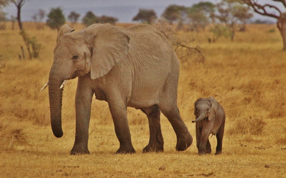 Mom and baby elephants in wild