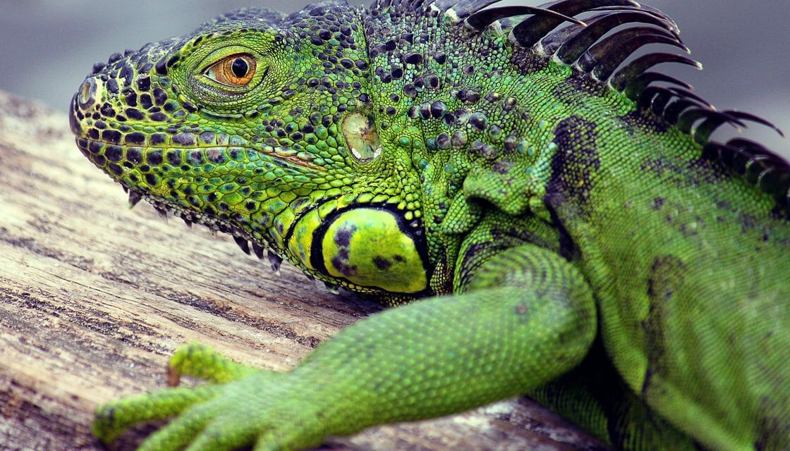 PETITION UPDATE: Florida Removes Call for Public to Kill Any Iguana They See