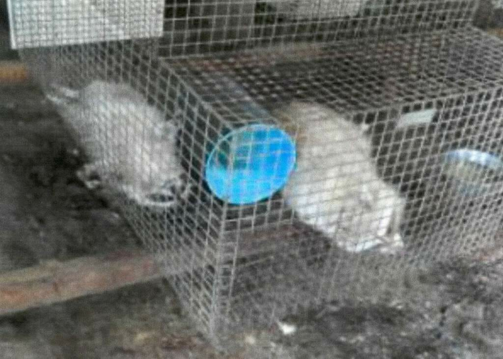 Caged raccoons