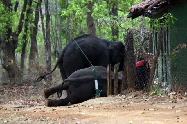 SIGN: Justice for Elephants Chained and Beaten Until they 'Scream in Agony'