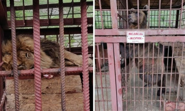 SIGN: Free Bear and Lion Imprisoned in Tiny, Filthy Cages at Russian Restaurant