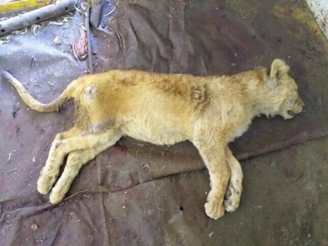 Dead Lion Cubs Found in Freezer at Cruel 'Canned Hunting' Farm