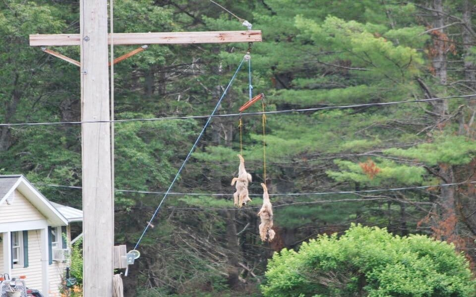 SIGN: Justice For Coyote Pups Killed And Strung Up On Display