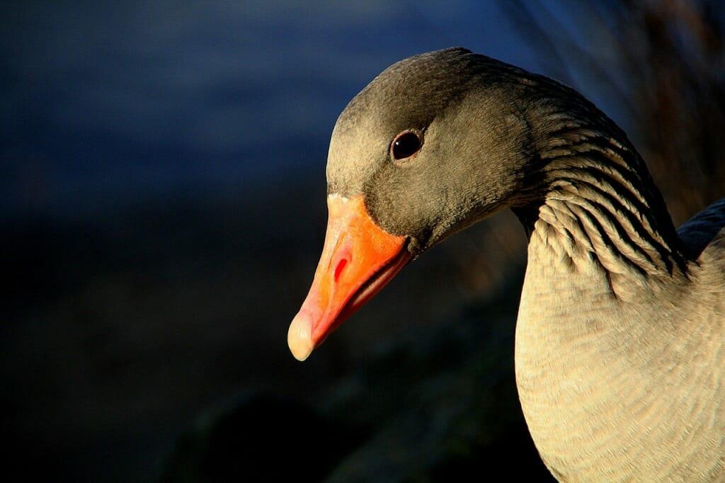 Goose at night