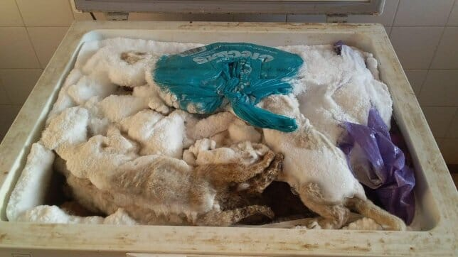 Dead lion cubs in freezer