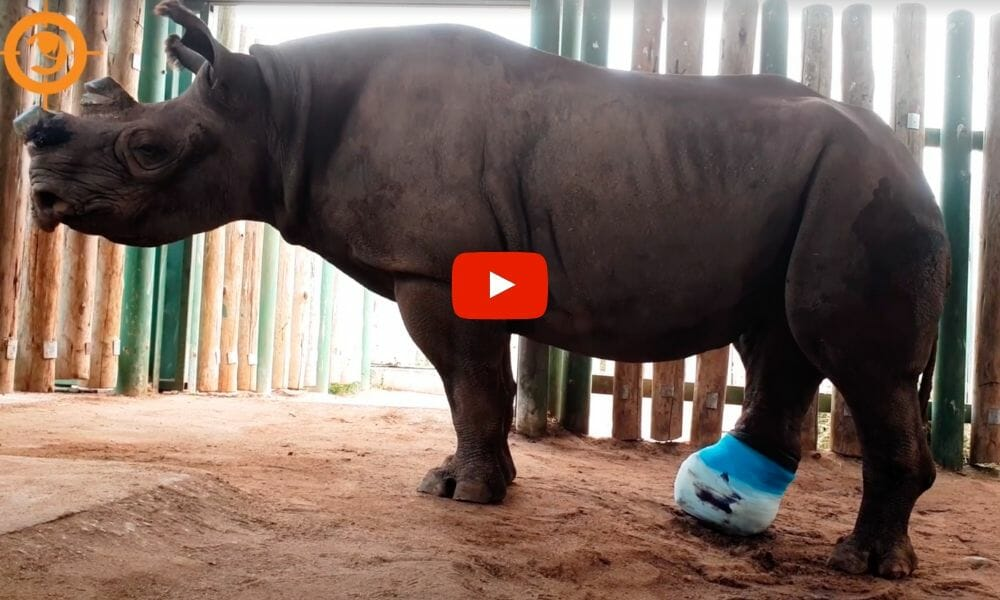 Rhino in cast