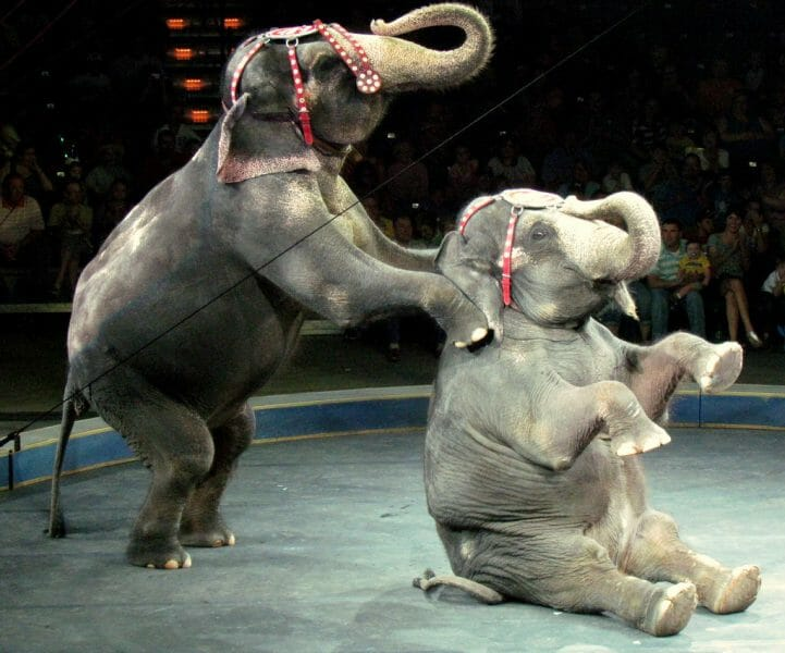 Circus elephants forced to perform