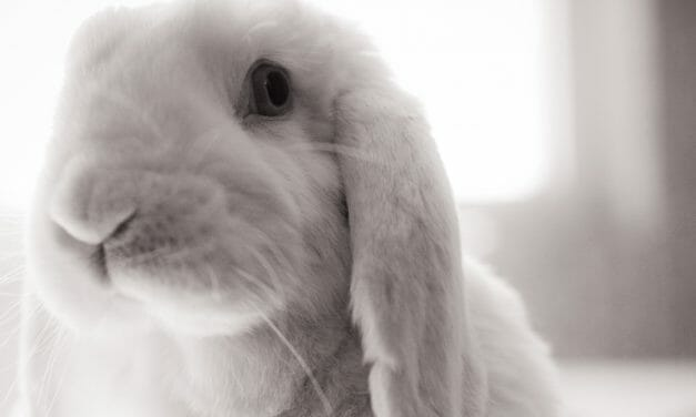 Animal Advocates Lodge Complaint Over Cruel Anthrax Experiments on Rabbits