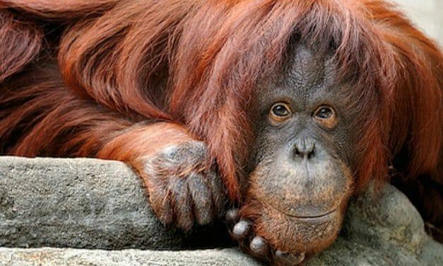 Sandra, Orangutan Granted 'Non-Human Personhood,' Is Finally Going To A Sanctuary