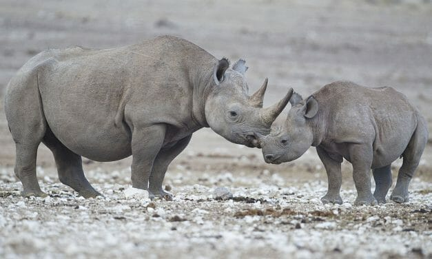 US Allows Trophy Hunter to Import Body Parts of Rhino He Paid $400,000 to Kill