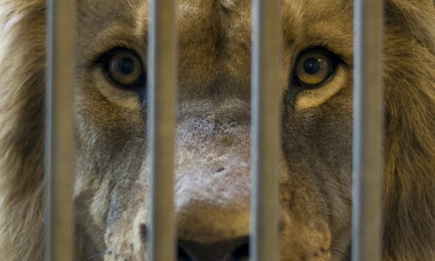 SIGN: Save Tigers and Lions from Miserable Captivity As 'Pets'