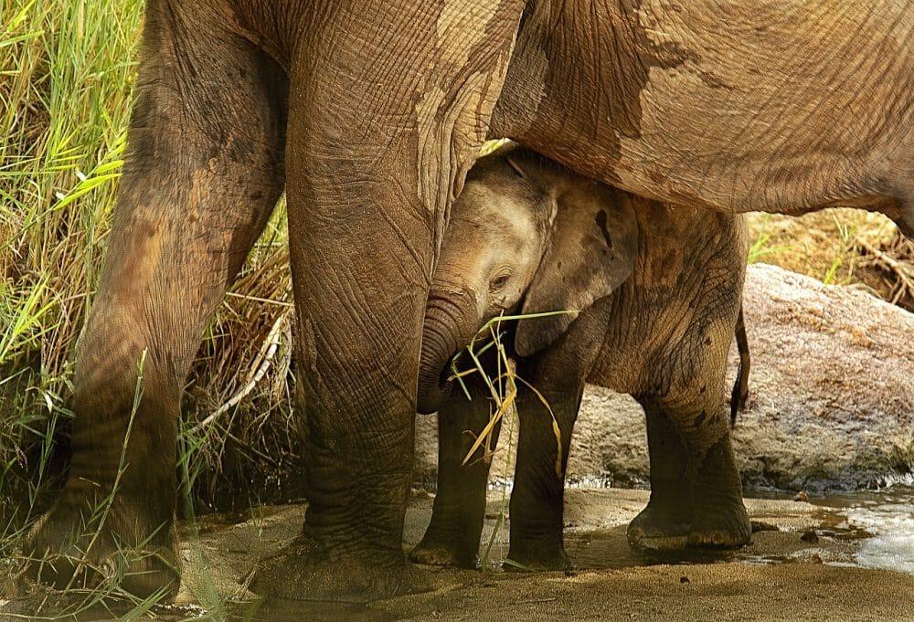 baby elephant sheltered by adult elephant