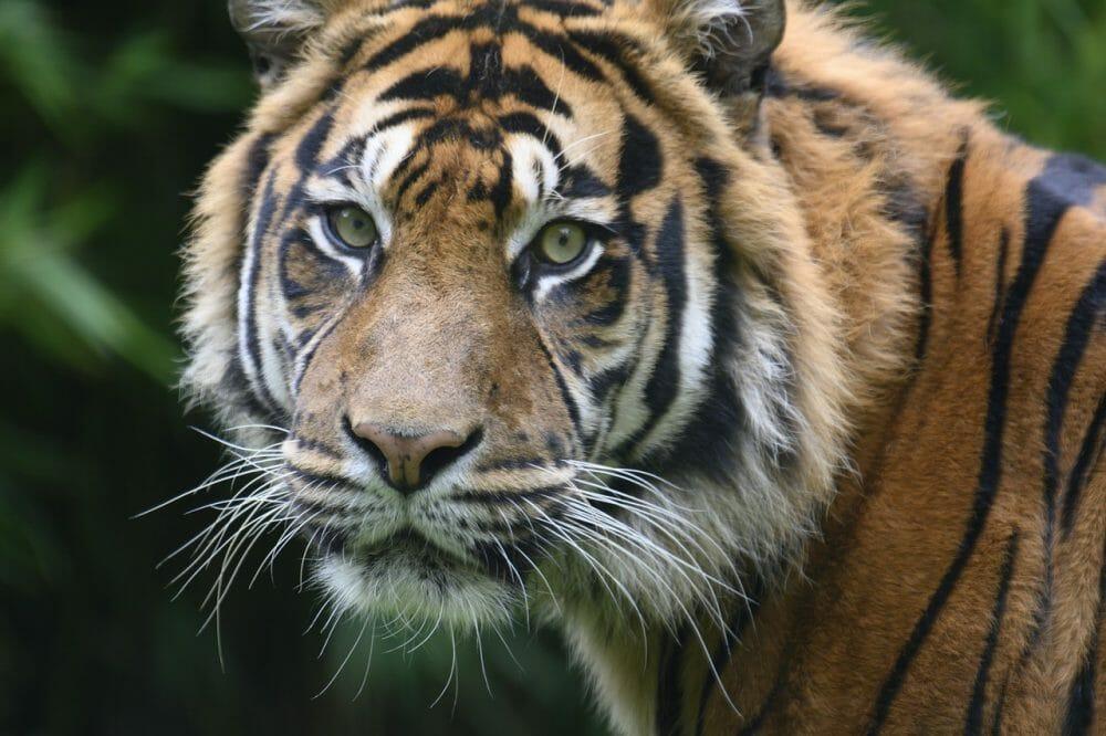 tiger staring into camera