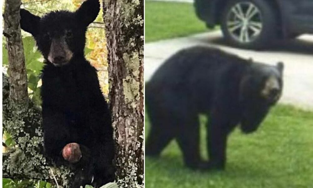 SIGN: Justice for Asheville Bears with Legs Gruesomely Amputated