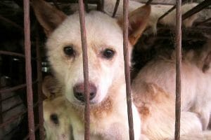 SIGN: To the next president of S. Korea, we urge you to ban dog meat consumption!