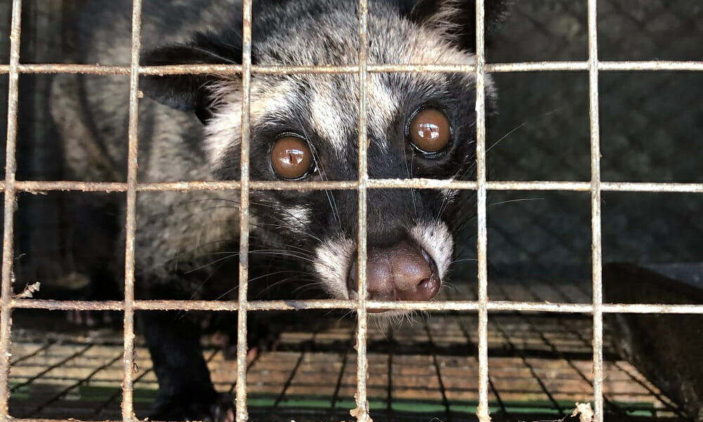 Civet Cats Are Suffering for the World's Cruelest Coffee