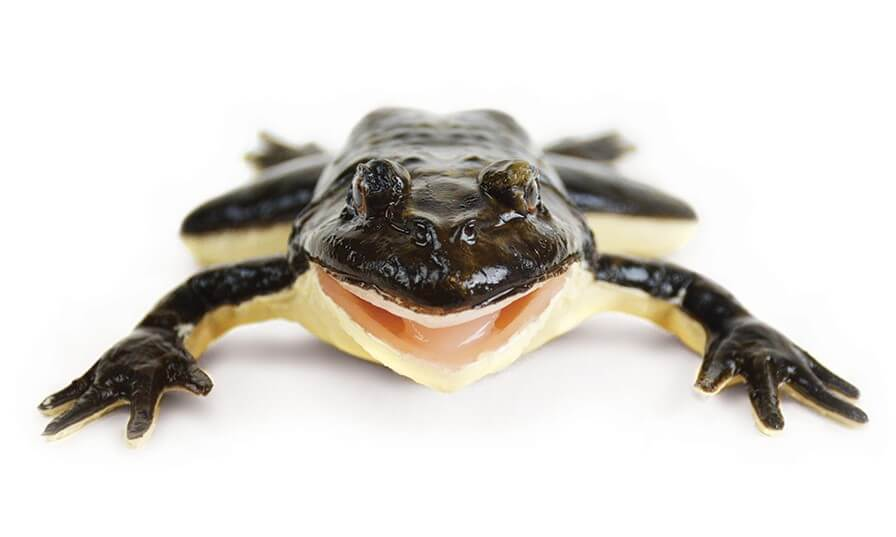 SynFrog