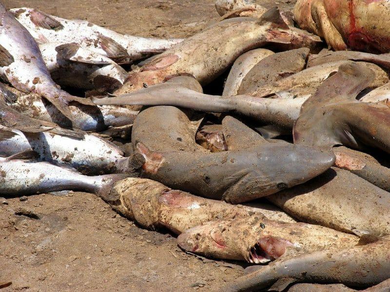 shark finning industry dead sharks