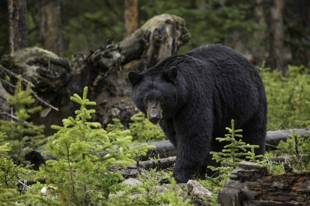 black bear in forest