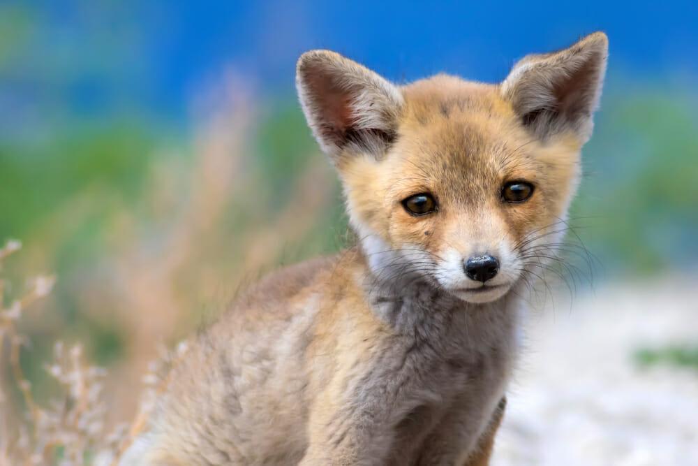 sad fox cub