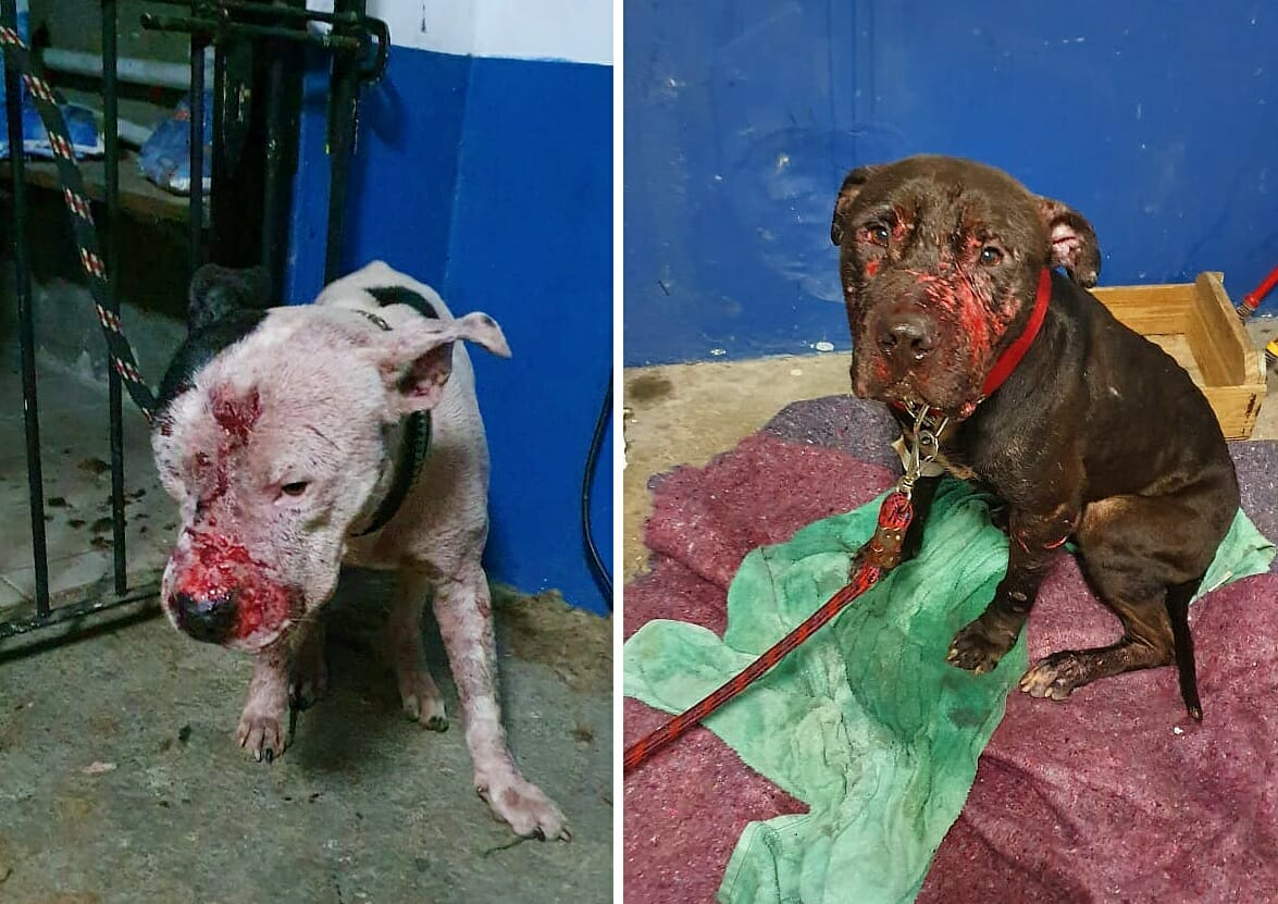 pit bulls rescued from Brazilian dog fight