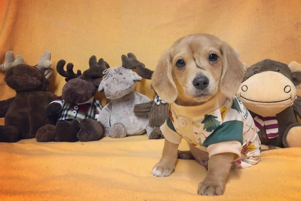UPDATE: Adorable 'Unicorn Puppy' To Become Spokesdog for Special Needs Pups
