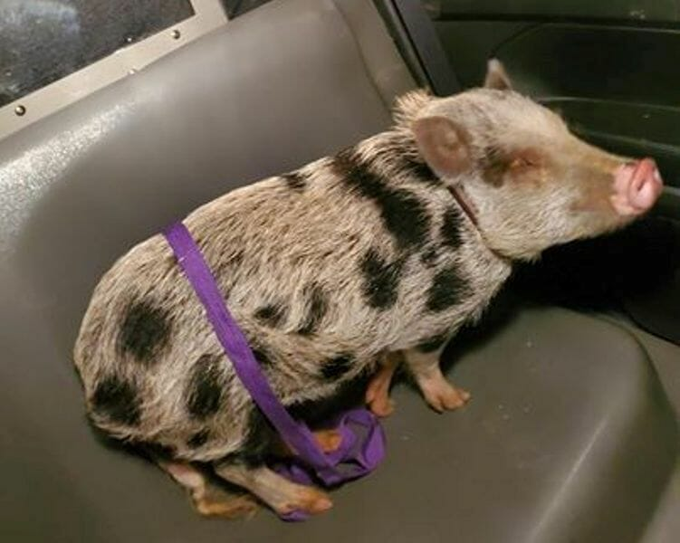 Potbellied Pig Goes on the Run at Thanksgiving