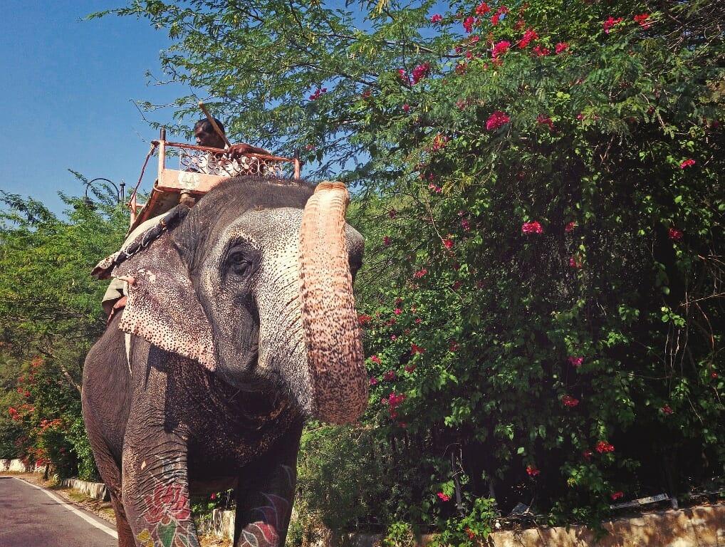 elephant being ridden