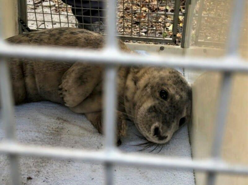 Injured Seal Pup Tragically Dies After Being Swarmed by Selfie-Seekers