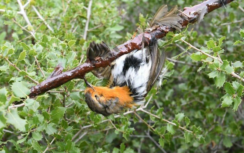 songbird in glue trap France