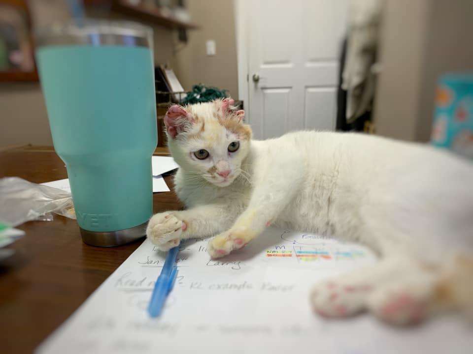 Suri rescued white kitten