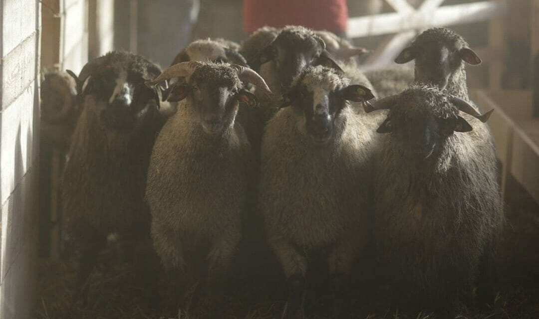 180 Sheep Destined for Slaughter Given Second Chance After Cargo Ship Capsizes