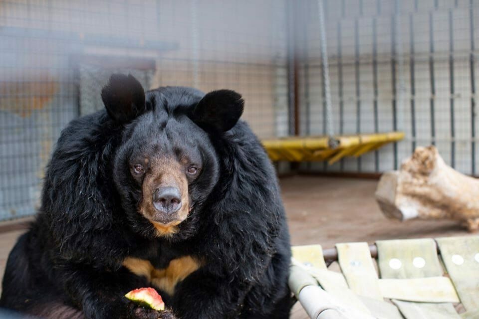 Obese Bear Finally Rescued After Decades in Small Cement Cage
