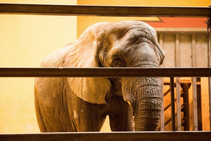 elephant not happy in zoo