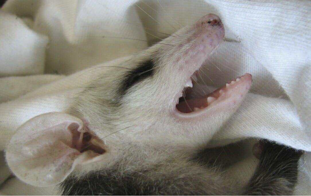 upset baby opossum