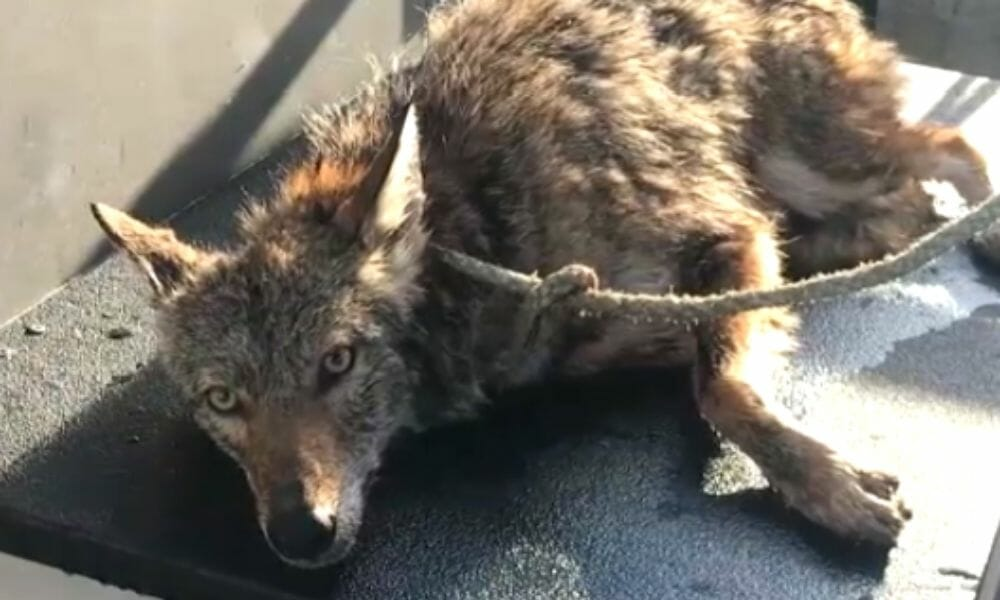 SIGN: Justice for Coyote Rescued from Water, Only to Be Cruelly Put Down