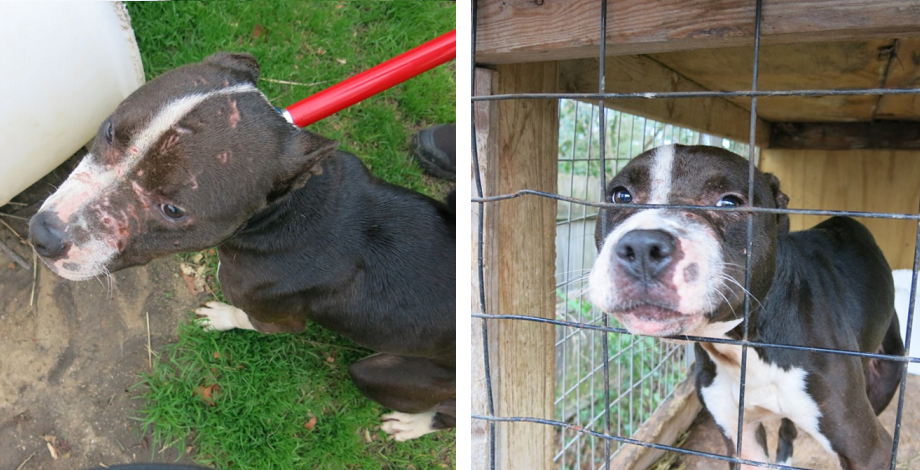 SIGN: Justice for Dogs Covered in Scars at Cruel Dogfighting Operation