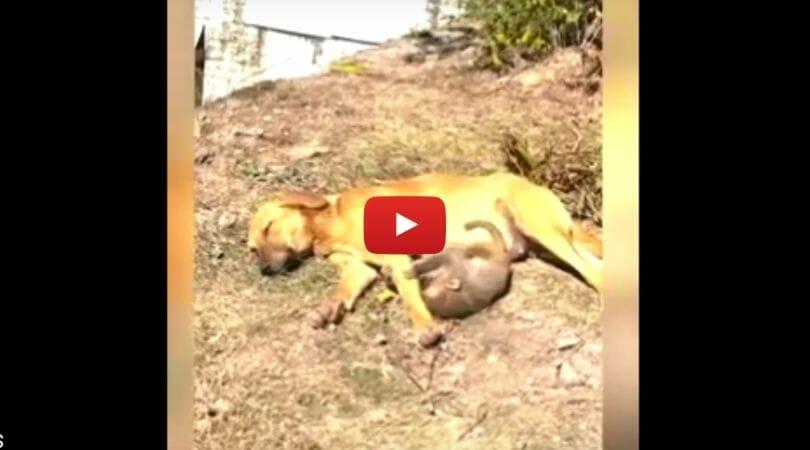 dog adopts baby monkey